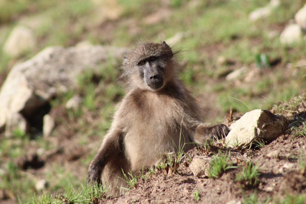 Am Ende des Holkrans Trails im Golden Gate Highlands National Park erwarten uns Affen