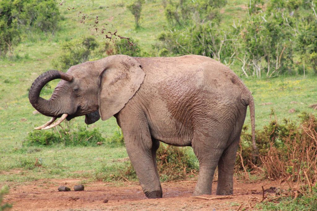 Elefant beim Schlammbad im Addo Elephant National Park
