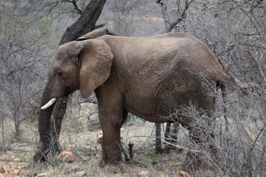 Elefantensichtung während der Walking-Safari
