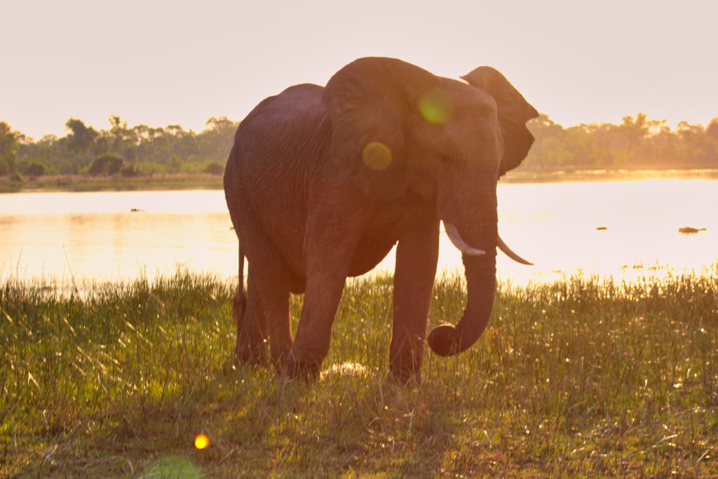 Elefant im Okavango Delta Botswana