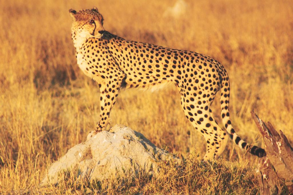 Gepard im Savuti Botswana