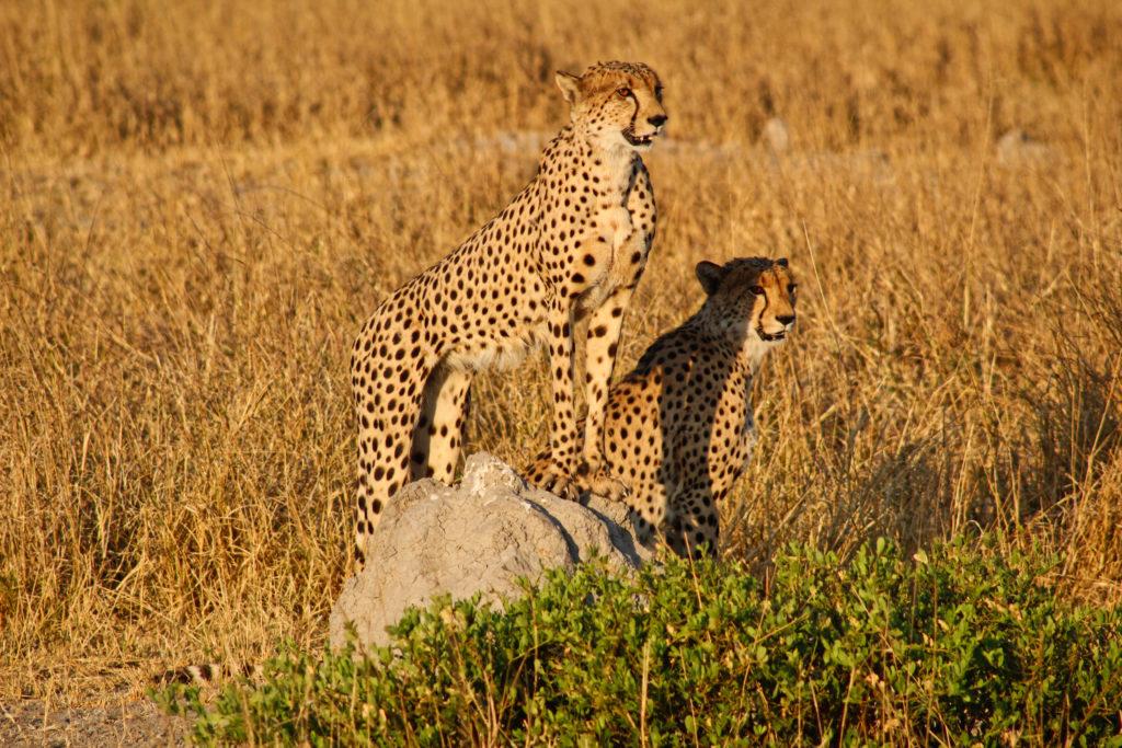 Geparden in Savuti