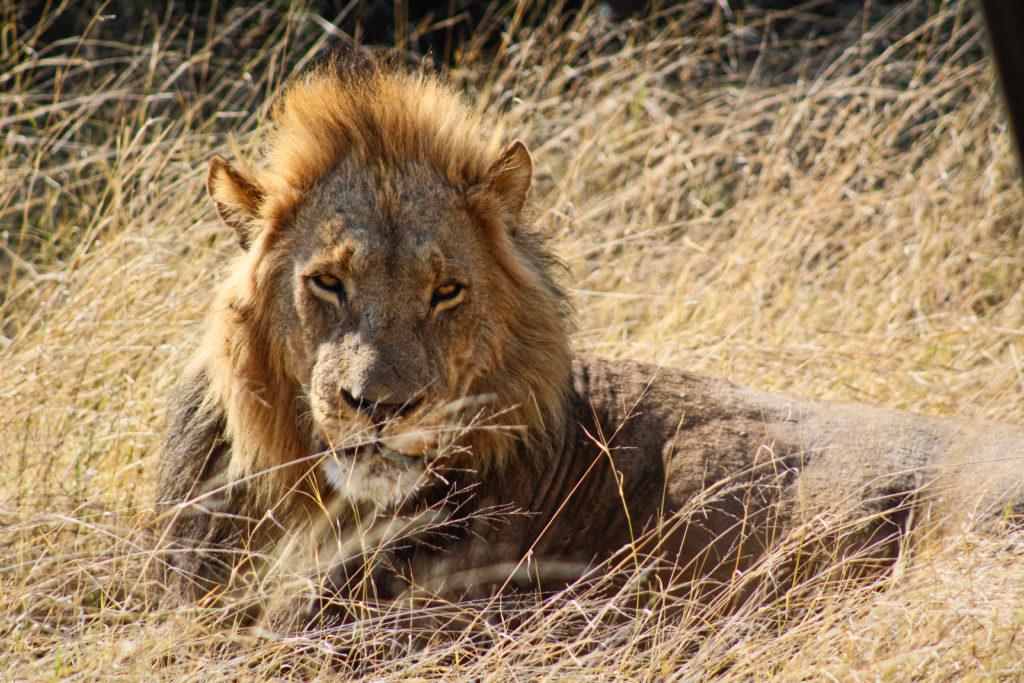 Löwe in Savuti