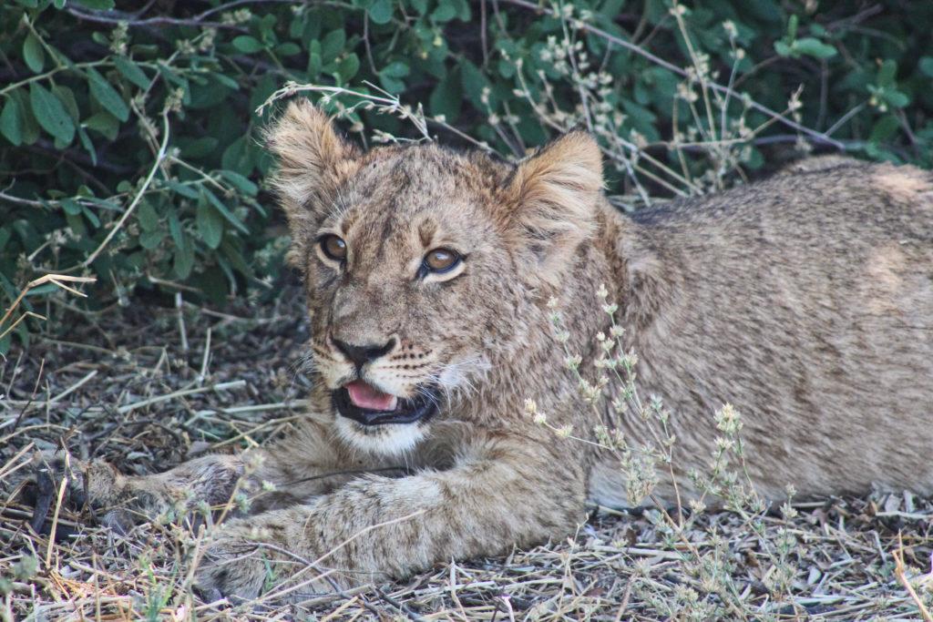 Löwenjungs in Savuti