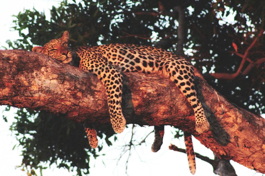 Leopard im Baum in Savuti