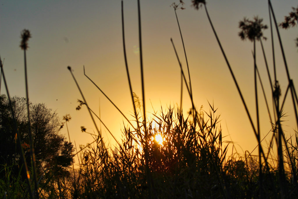 Papyrus Okavango Delta