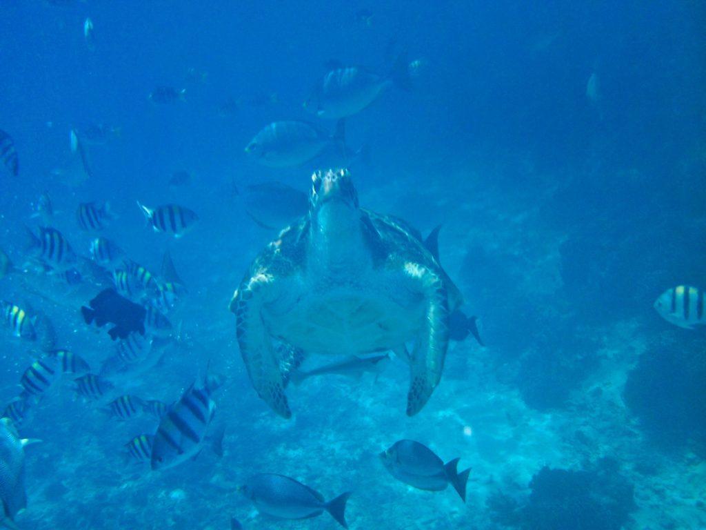 Schnorcheln Schildkröte und bunte FIsche