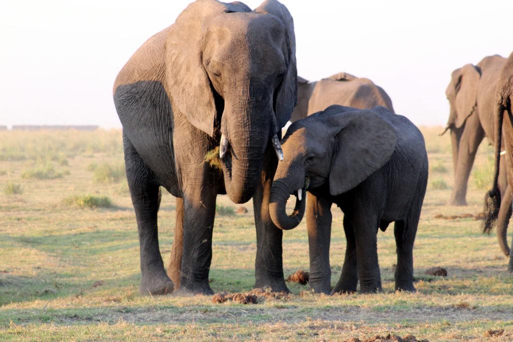Elefantenkuh mit Kalb