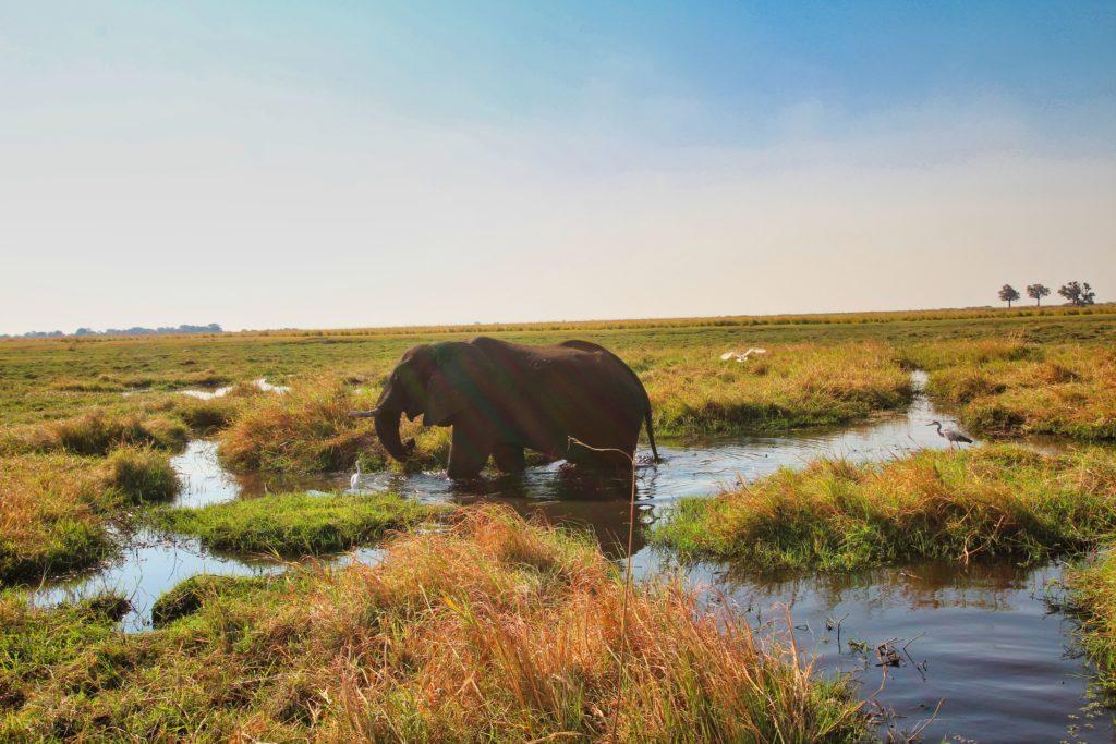 Elefant beim Fressen im Chobe