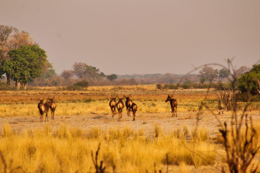 Antilopen Susuwe N.P.