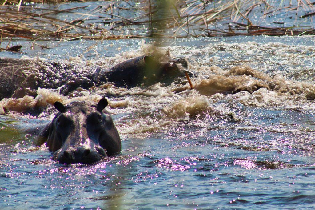 Flusspferde im Kwando