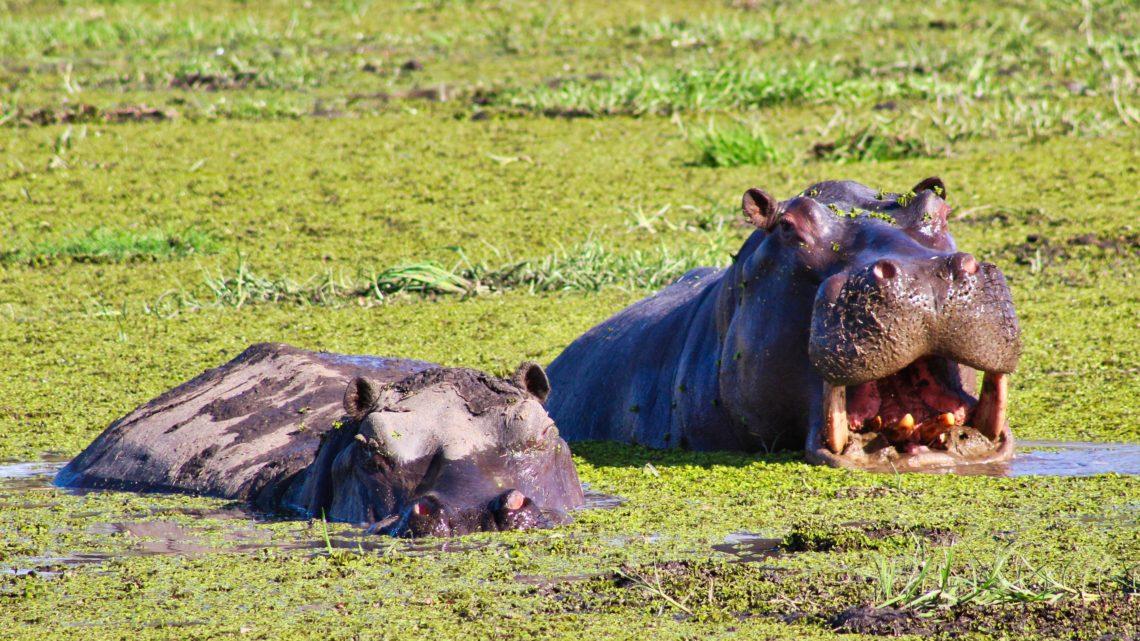 Meine Reise zu dem Ort meiner Sehnsucht – Teil 4 : Meine erneute Begegnung mit den Flusspferden