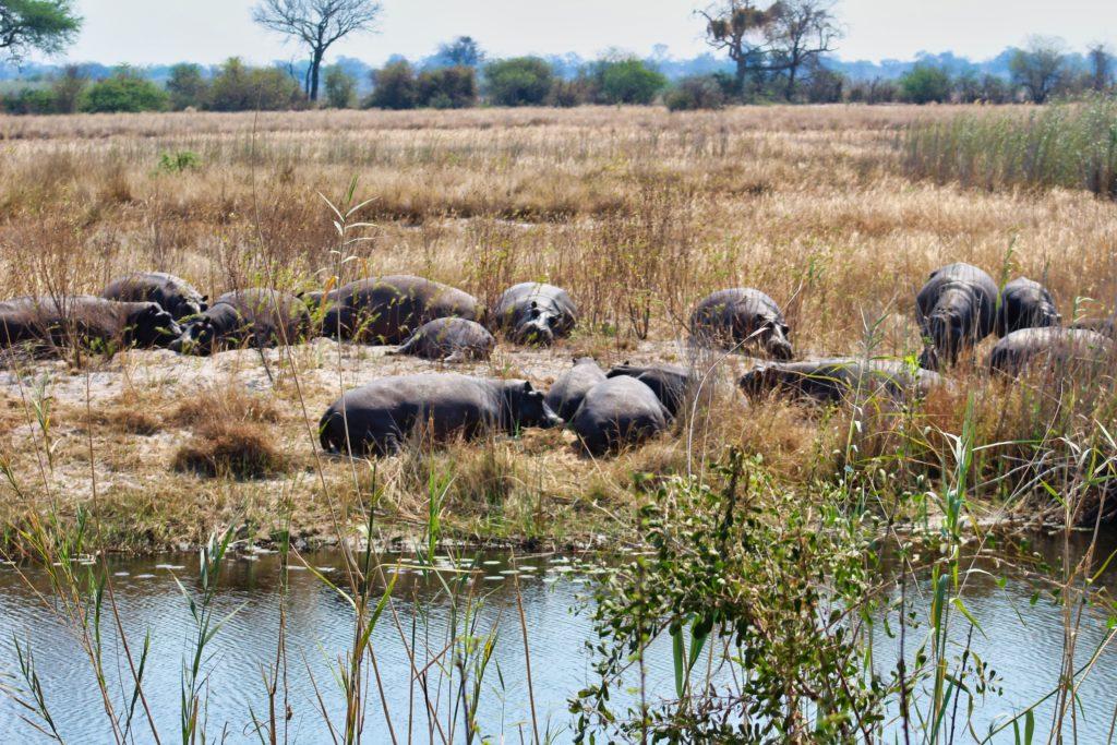 Flusspferde am Ufer des Kwando